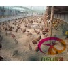 湖南野鸡苗、七彩山鸡苗批发、湖南山鸡养殖